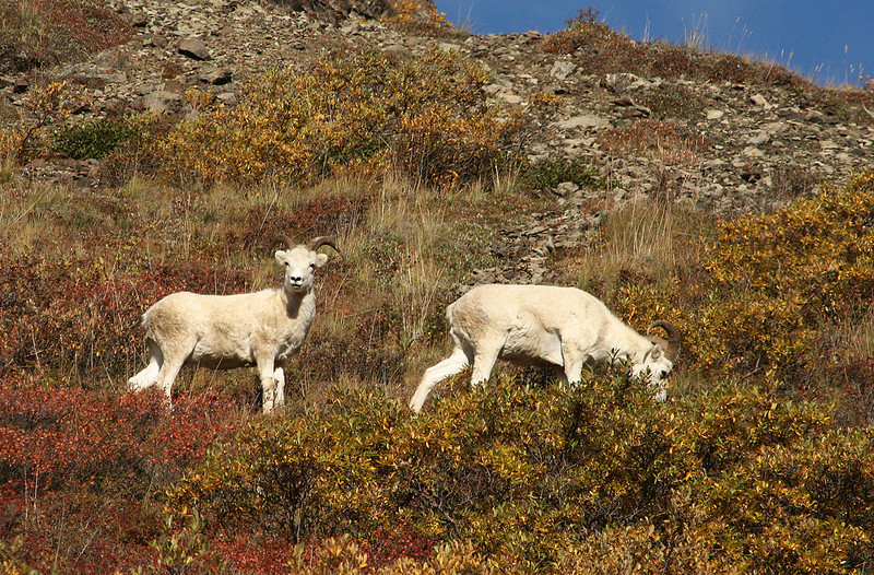 Alaskan Mountain Sheep
