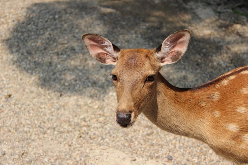 The deer of Nara, Japan