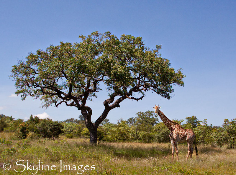 sabi-sands-game-reserve-giraffe