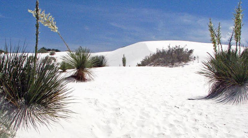 The snow white sands with green yucca plants at White Sands National Monument