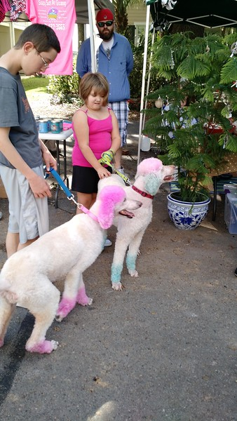 Two poodles with dyed pink ears
