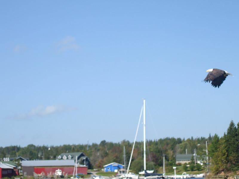 An eagle flys over Bras D'or Lake in Nova Scotia.